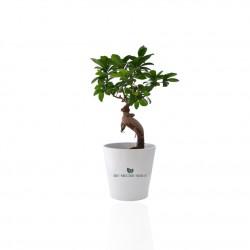 Ficus Ginseng Bonsaï en pot céramique rond 7cm