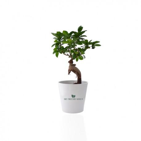 Ficus Ginseng Bonsaï en pot céramique rond 7cm personnalisé