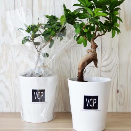 Ficus Ginseng Bonsaï en pot céramique rond 10 cm