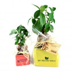 Ficus Ginseng Bonsaï en pot céramique carré