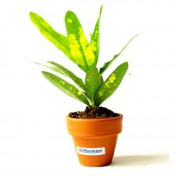 Plante dépolluante de bureau en pot terre cuite 6 cm