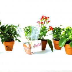 Petite plante fleurie publicitaire en pot terre cuite 6 cm