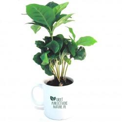Plant de caféier 20cm en mug personnalisable
