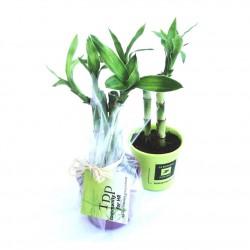 Canne chinoise - Bambou publicitaire en pot céramique