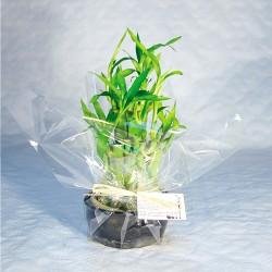 Coupe Bambou publicitaire en pot céramique 10cm