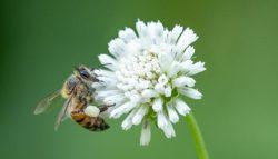 fleur semer abeilles trefle